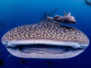 沖縄 ジンベエ ダイビング